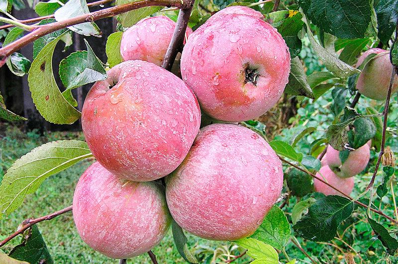 Лучшие сорта яблонь для сибири: Уэлси