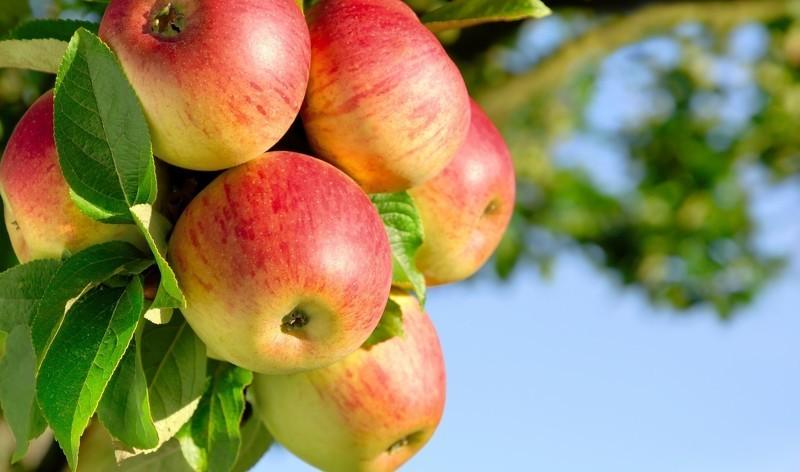 лобо яблоня описание фото отзывы
