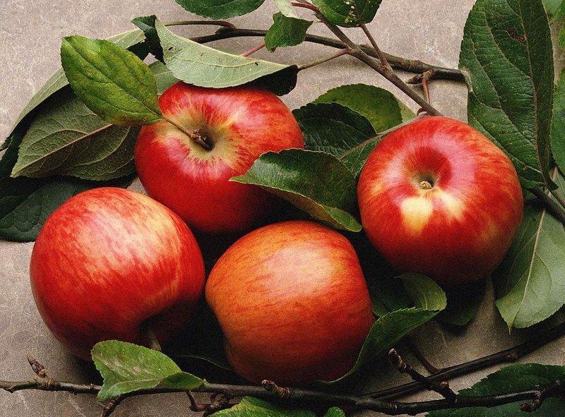 сорта яблонь медуница