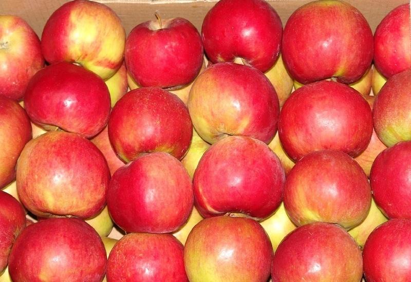 фото сорта яблок лобо