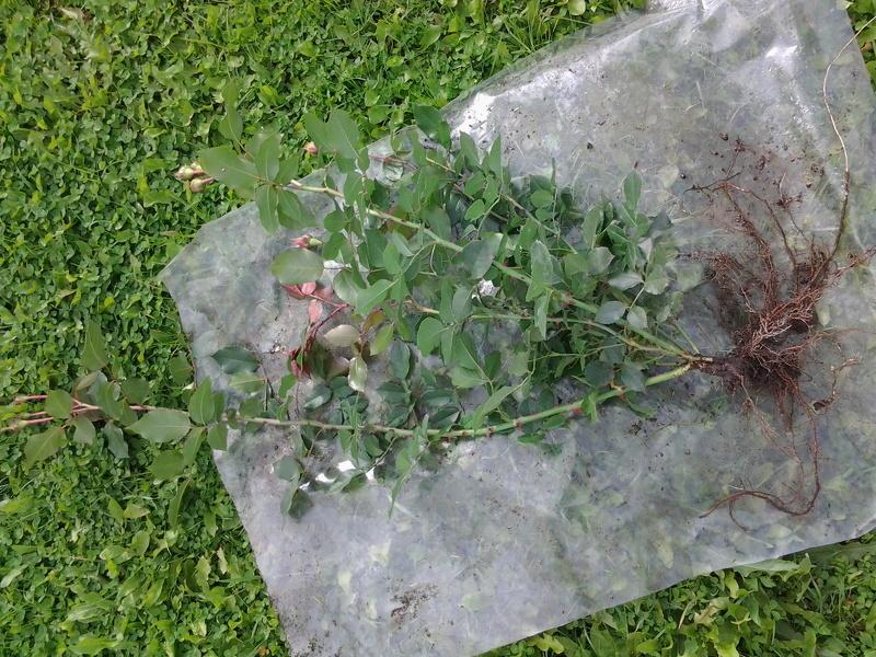 Размножение роз черенками, фото черенка розы в пакете