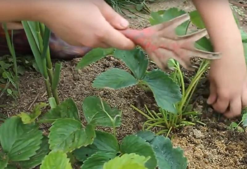 Как обрабатывать клубнику на зиму