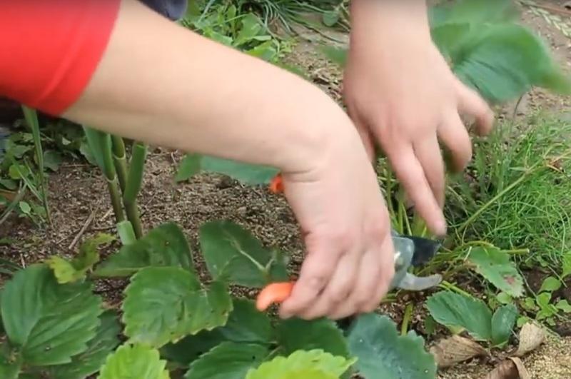 Обработка кустов клубники после сбора урожая