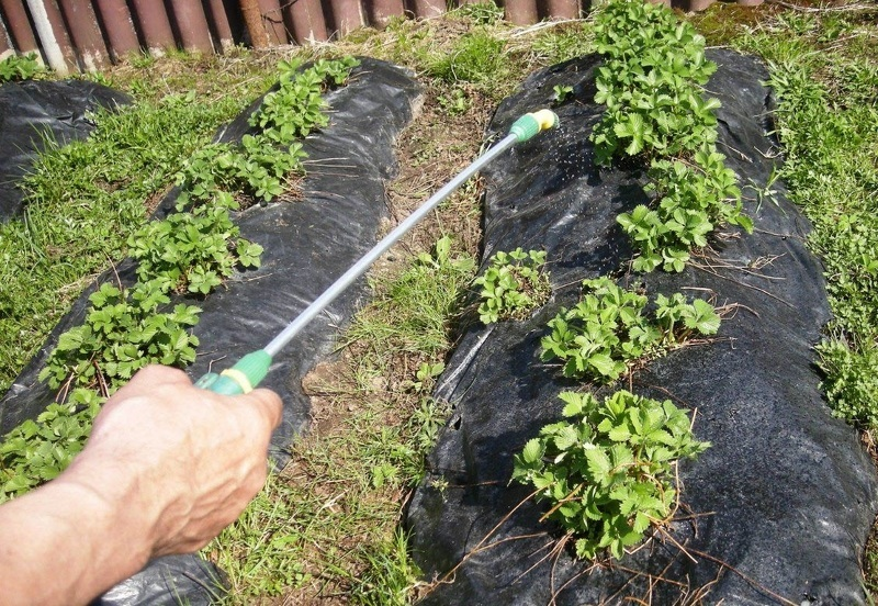 Чем подкормить клубнику после цветения