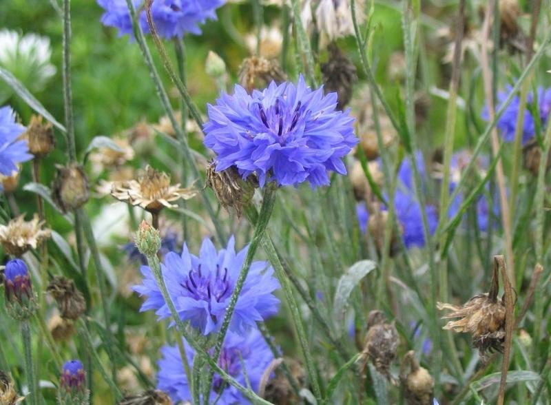 Василек полевой для цветущей лужайки