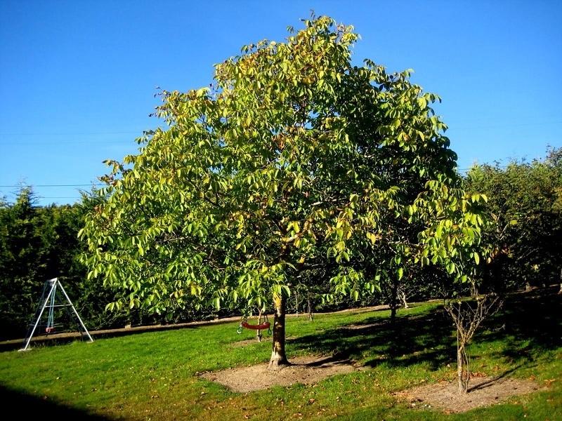 √рецкий орех дерево купить
