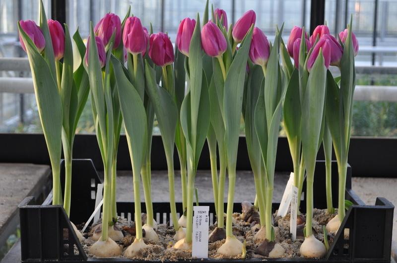Сажать тюльпаны в доме 117