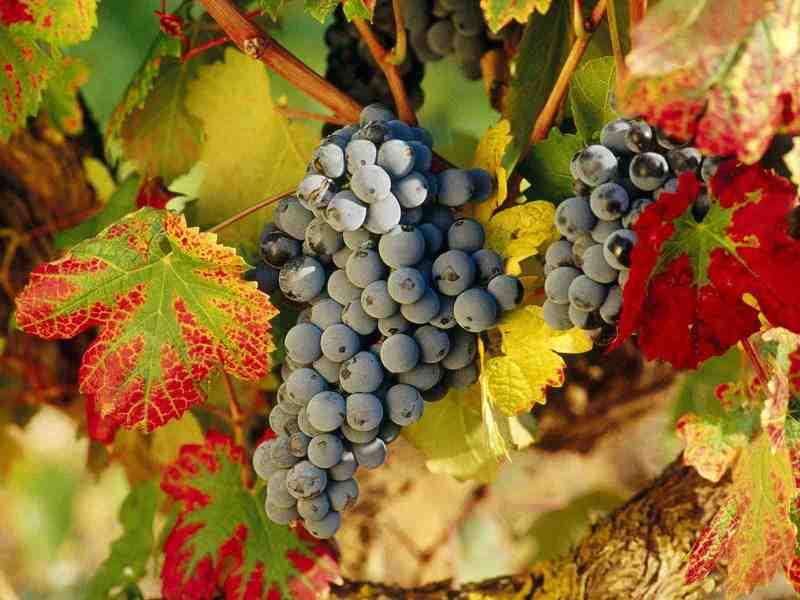 Кустарник винограда в Сибири особенности выращивания