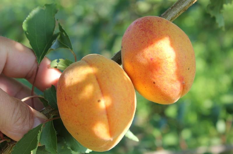Ранние сорта абрикоса: описание сортов, фото и характеристики