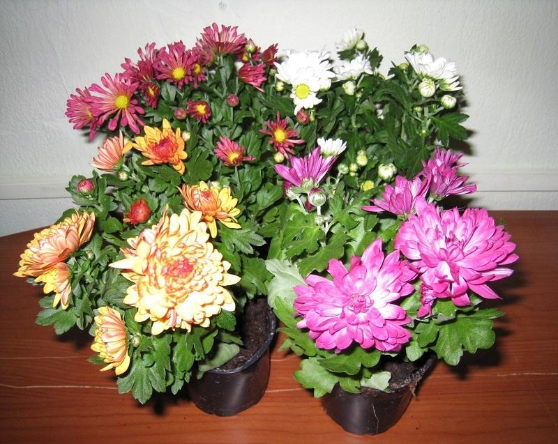 Цветы хризантемы в домашних условиях