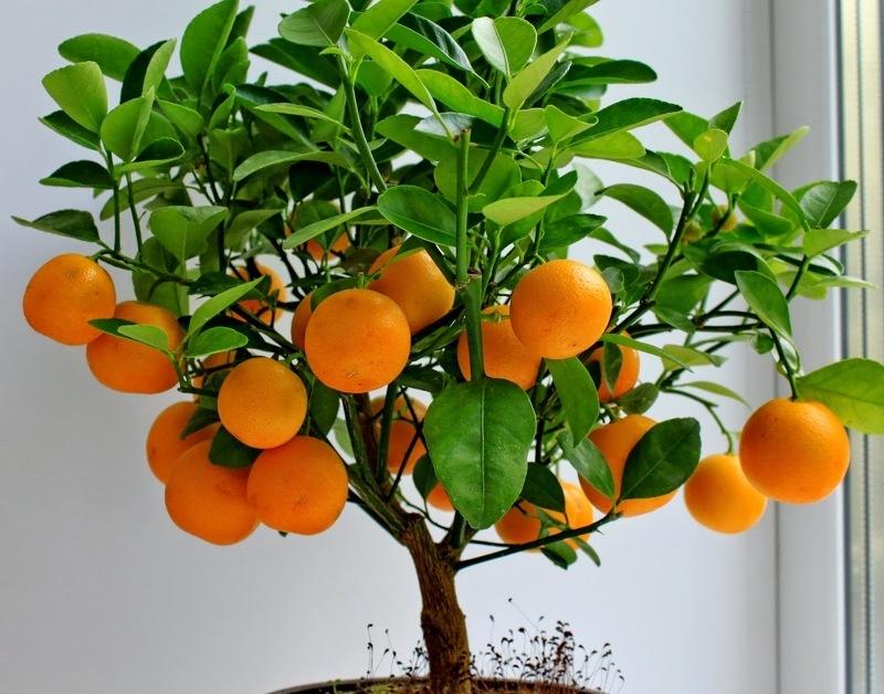 Как привить мандарин в домашних условиях и сроки процедуры, видео