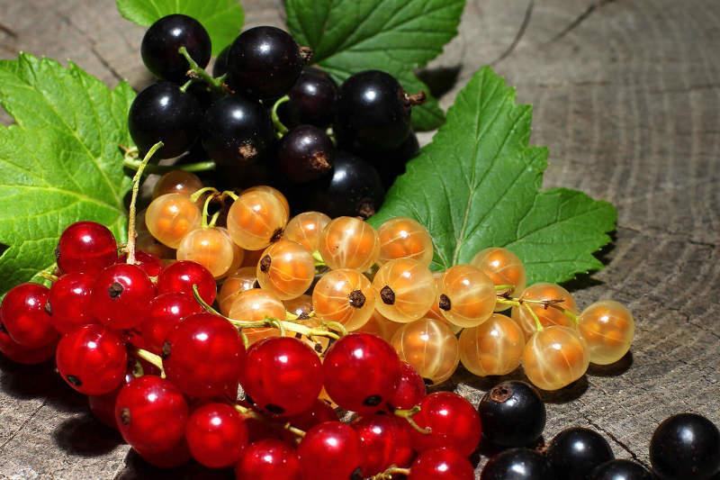 Смородина красная польза и вред для здоровья свойства и противопоказания