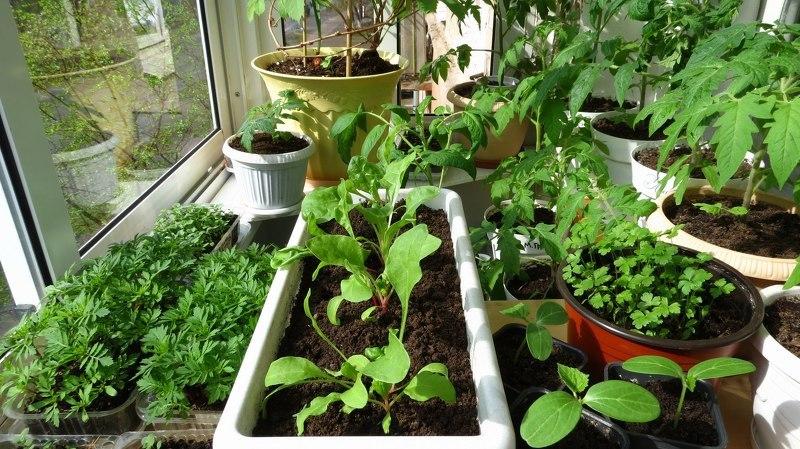 8 трав, которые можно вырастить на кухонном подоконнике 73