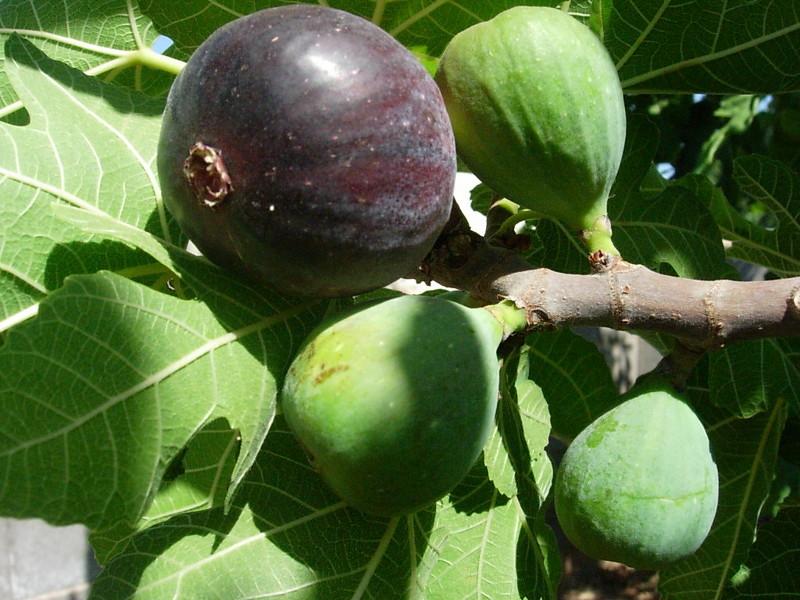 Дерево инжира сорта Фиолетовый Сухумский с плодами