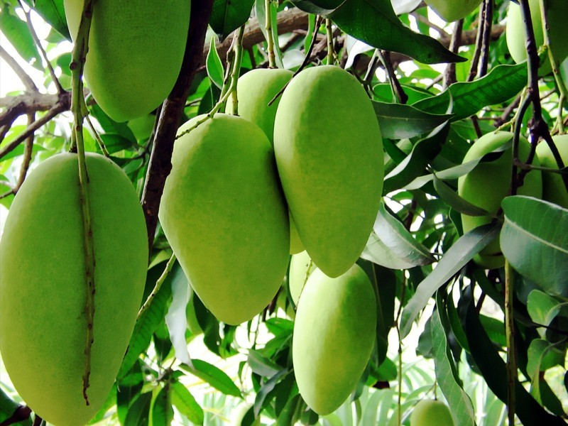 Манго: уход в домашних условиях, как вырастить манго из косточки