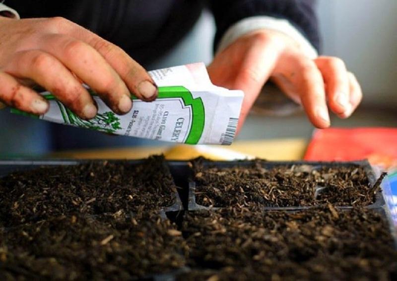 Как посадить и вырастить корневой сельдерей.