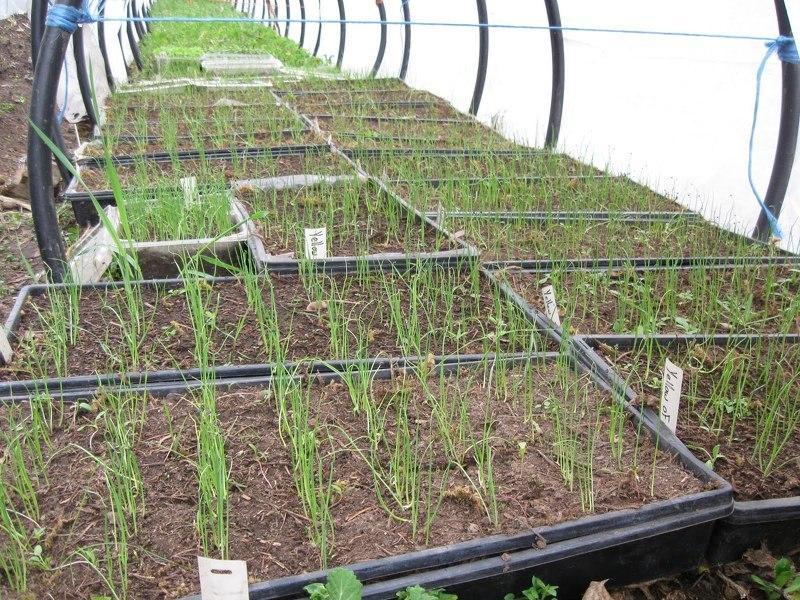 Рассада помидор - выращивание из 81