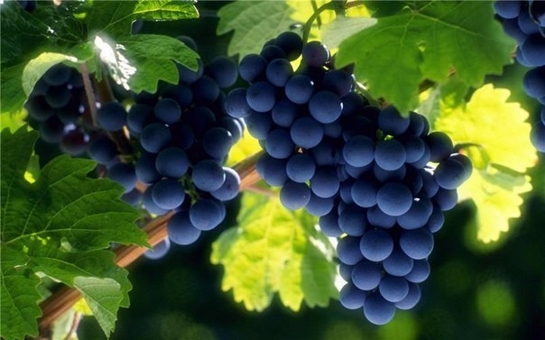 Сорта розового винограда для средней полосы