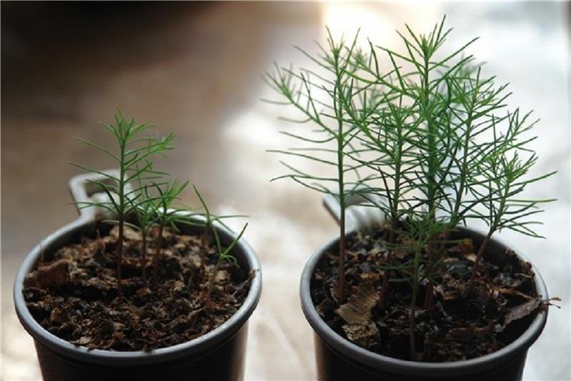 Как правильно сажать хвойные растения