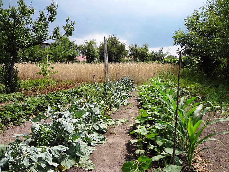 Посадки кукурузы по соседству с огурцами
