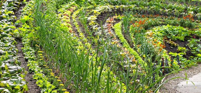 Посадки овощей и зелени рядами