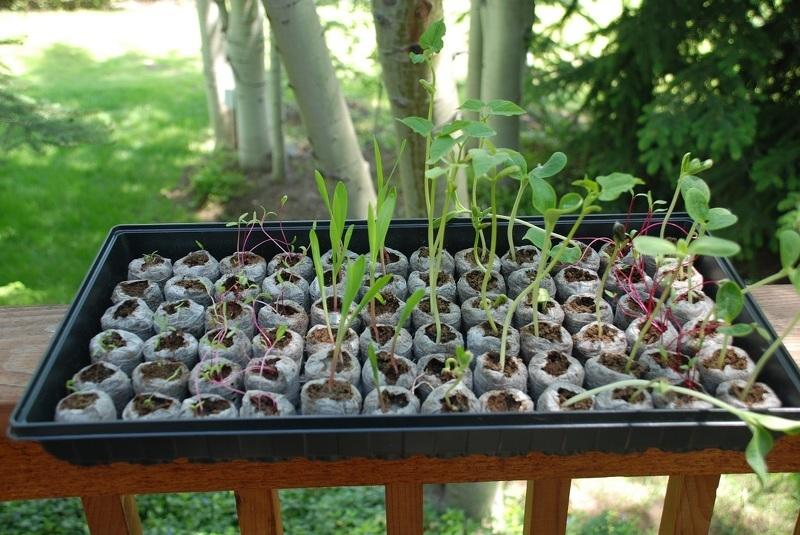 Рассада помидор - выращивание из 61