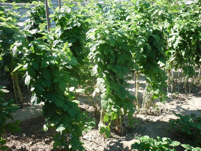 Выращивание малины на дереве 45