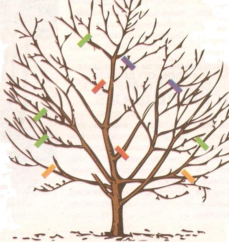Схема: обрезка яблони весной в возрасте от 3 лет