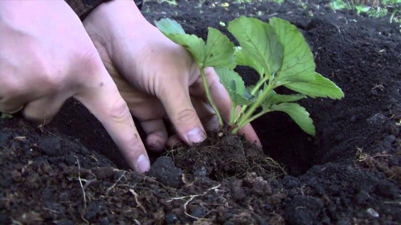Высаживание клубники в грунт