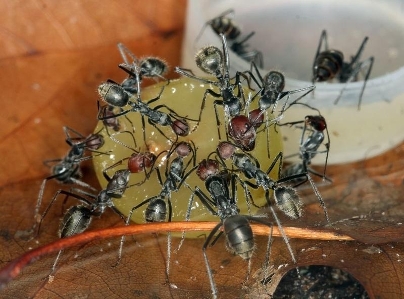 Ловушка для муравьев на медовой основе