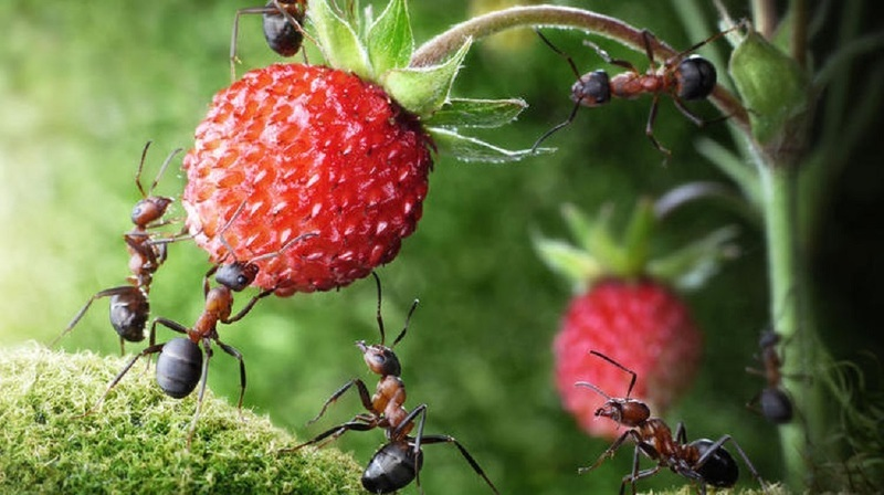 Как избавиться от садовых муравьев на участке