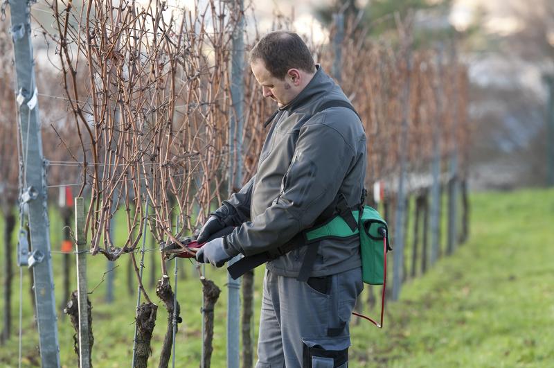 Уход за виноградом: обрезка весной