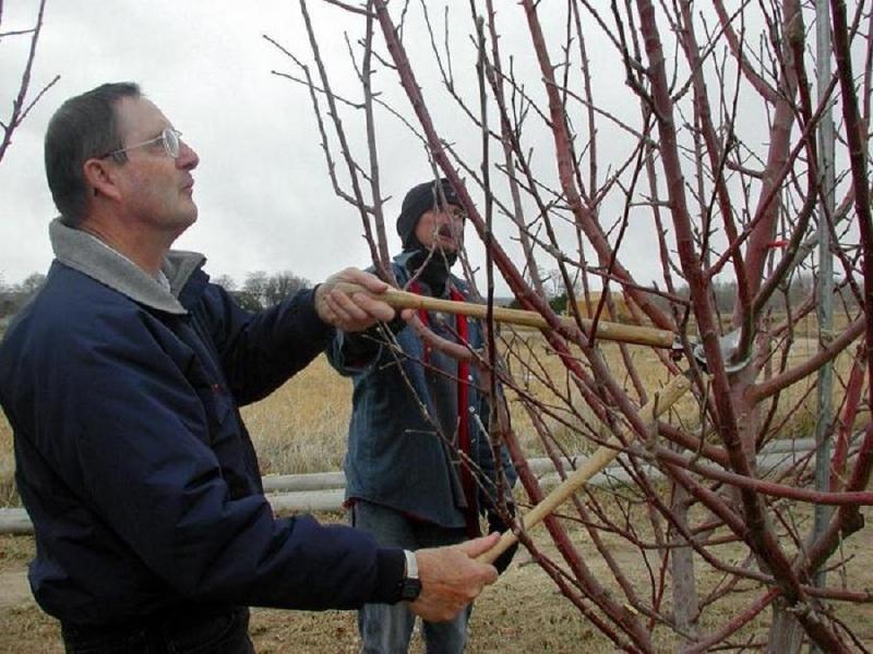 Обрезка вишневого дерева весной