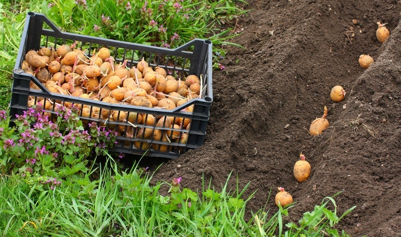 Как сделать борозды под картофель