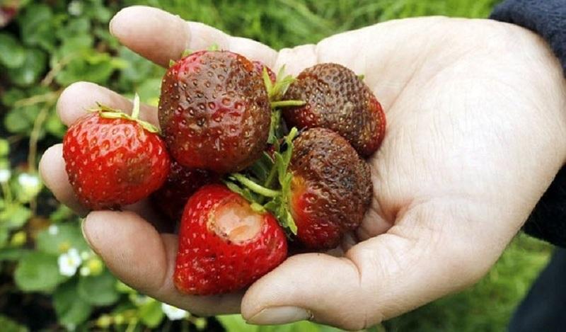 Ягоди болести и вредители