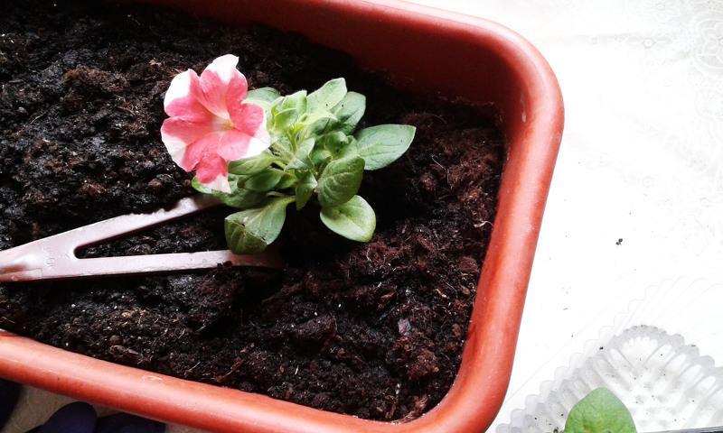 Как приготовить почву для петунии