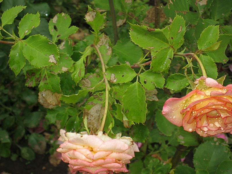 Чем лечить розы от болезней