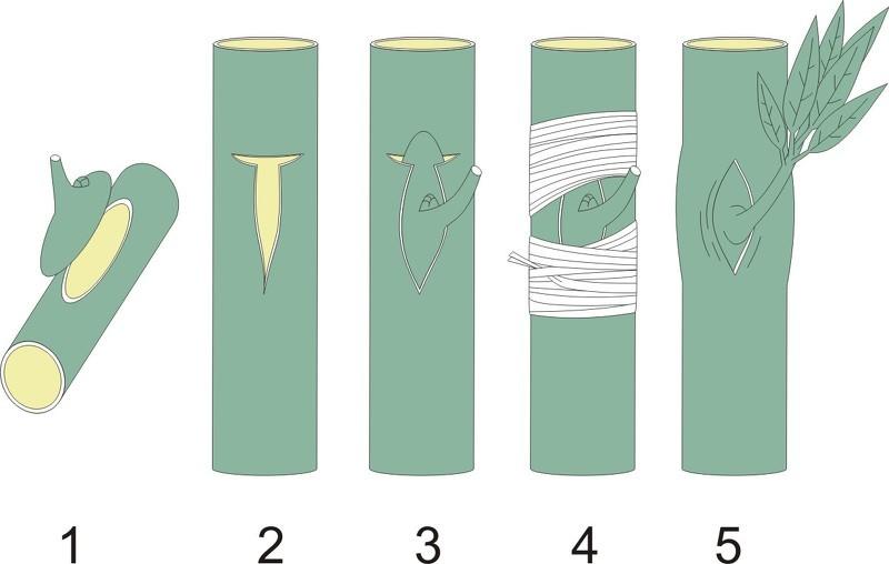 Схема прививки сливы почкой