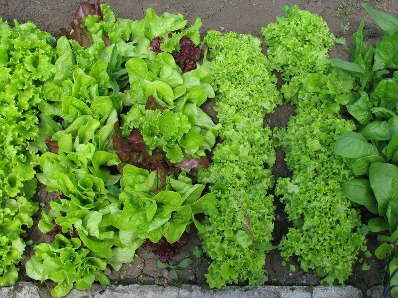 Листовой салат отлично растет при повторных посевах