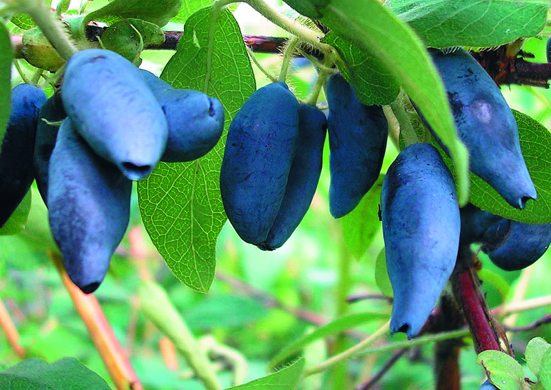 Плоды жимолости садовой