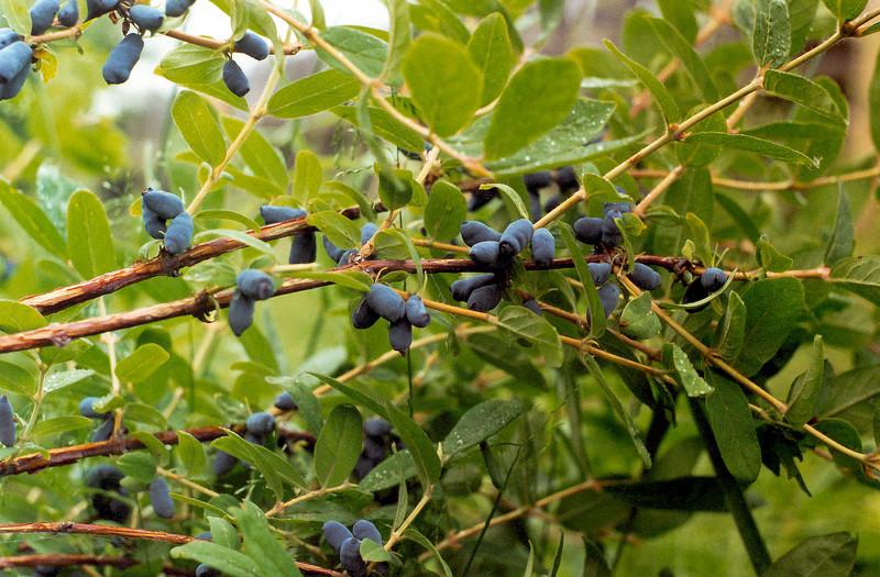 Плоды жимолости съедобной содержат множество полезных веществ