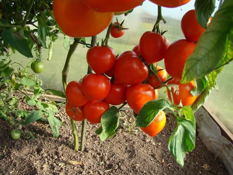 Как ухаживать за помидорами в теплице: уход после высадки томатов, как правильно окучивать в парнике, что нужно