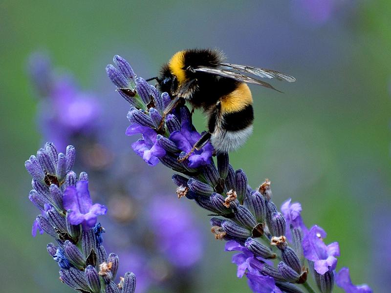 Лаванда - идеальный медонос, и используется для привлечения опыляющих насекомых