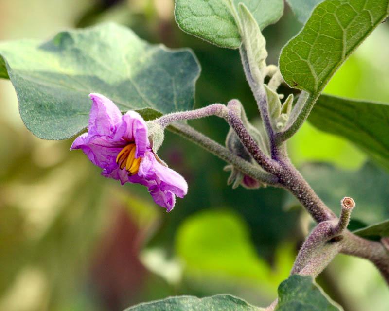 Удобрение баклажан во время цветения