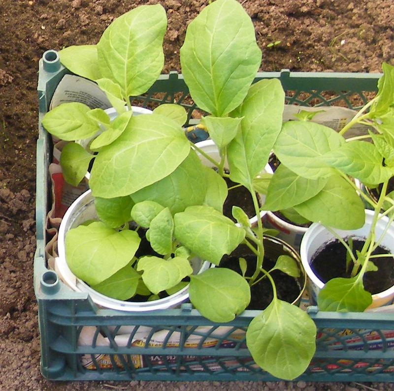 Рассада на выращивание баклажан в теплице