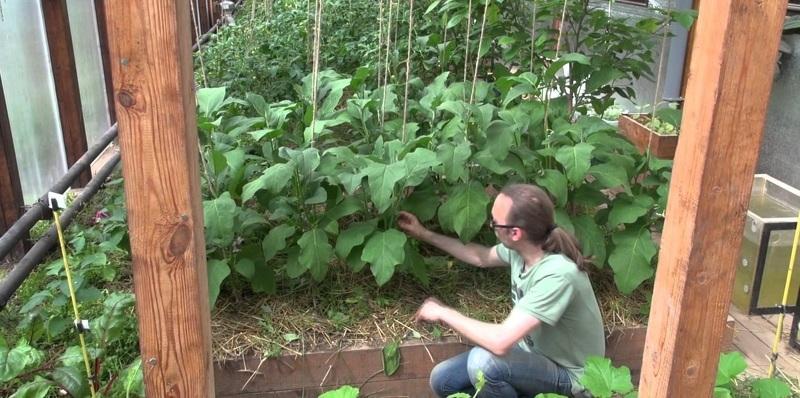 Подвязка высокорослых сортов баклажанов в теплице