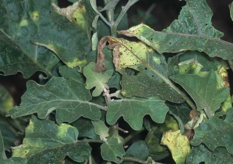 Признаки заболевания на листьях баклажана