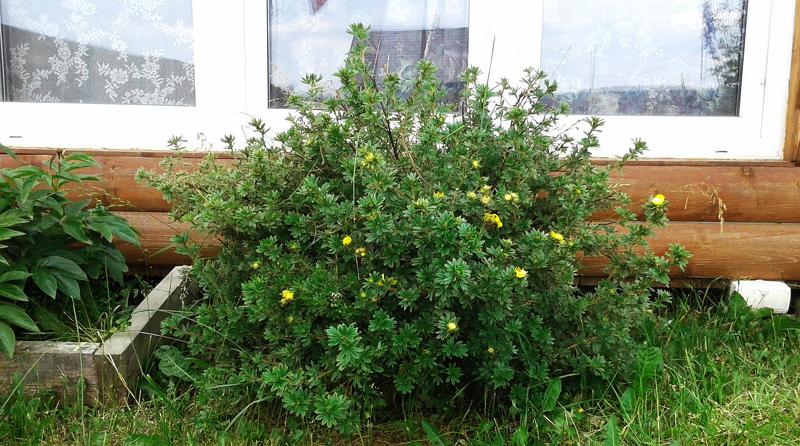 Долго цветущая лапчатка кустарниковая в вашем саду
