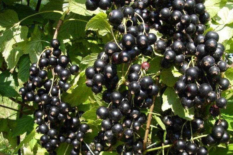 Листья черной смородины можно собирать после сбора урожая