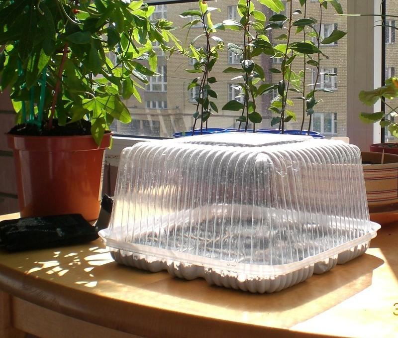 Создание парниковых условий для рассады лаванды
